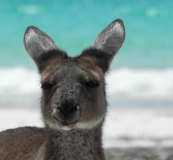Esperance Lucky Bay Känguru am Strand